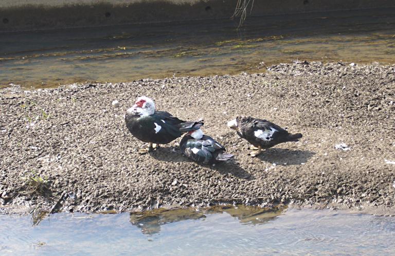 埼玉県加須市の排水路に怪鳥が現れた!
