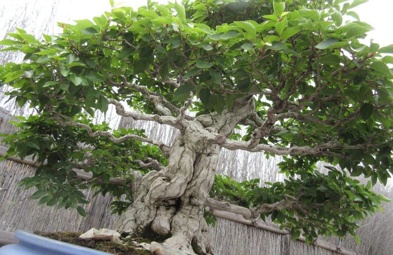 bonsai_01