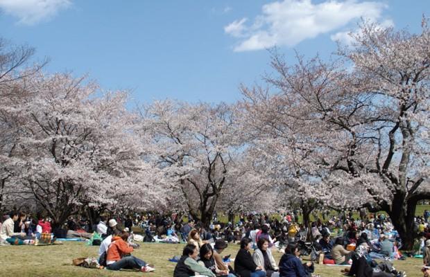 今年は早め?埼玉県各地の桜満開予測 2016