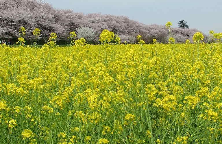 포맷변환_2‐1 菜の花と桜