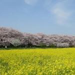埼玉県のお花見スポット幸手権現堂桜堤の魅力とアクセス方法