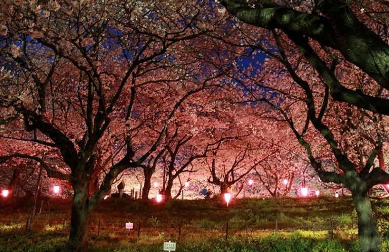 포맷변환_3‐2 夜桜ライトアップ
