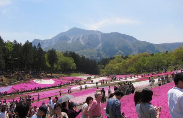 GWが見頃!羊山公園に広がる芝桜の楽しみ方とアクセス方法